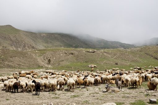 Large herds of sheep and goats are commonplace from Turkey to Turkestan (Image-Shutterstock)